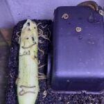 Telodeinopus aoutii Grün (Nachzucht)