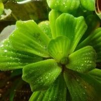 Muschelblumen für Aquarium oder Gartenteich